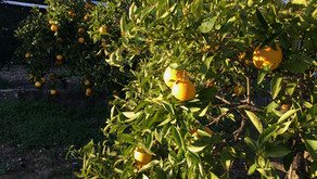 More Than Marmalade. Thoughts on Andalucían Oranges and a Recipe