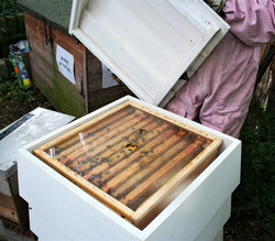 The Bee Wrangler