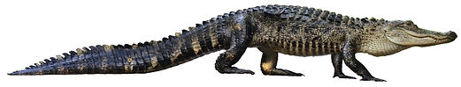 wild-farm-raised-alligator-white-backgro