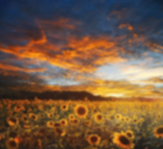 sunflower-field-730446_1920.jpg