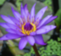 water-lily-362201_1920.jpg