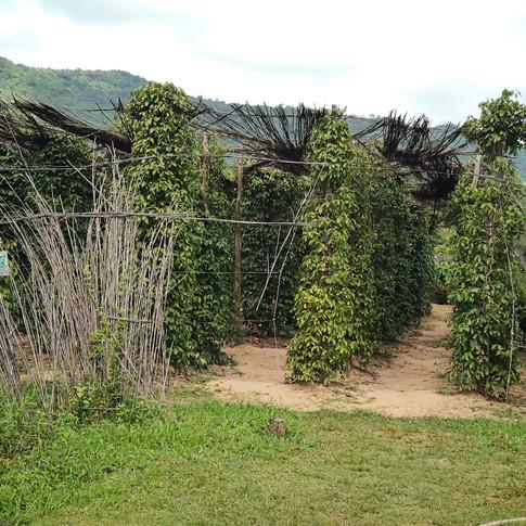 Plantation de poivre, Province de Kampot