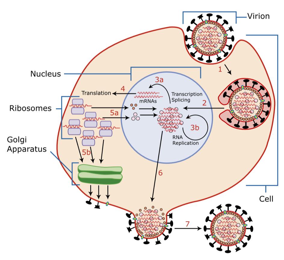Virusvermehrung (Influenza) – Andocken-Einschleußen-Auflösen-Vermehrung-Zusammenbau-Ausschleußen. Quelle Wikimedia