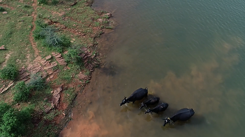 drone buffaloes.png