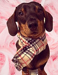 Brown Tartan Dog Scarf, Red Tartan Dog Scarves, Red Tartan Dog Bandanas UK, French BullDog Bandanas UK, Puppy Dog Bandanas UK