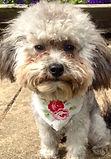 Cath Kidson Style Dog Bandana, Dog Clothing, Floral Dog Bandana, Pretty UK