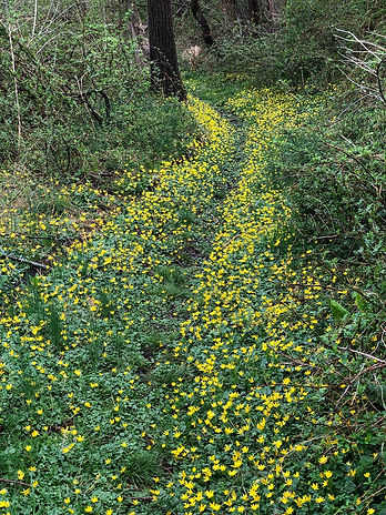 A path of yellow flowers