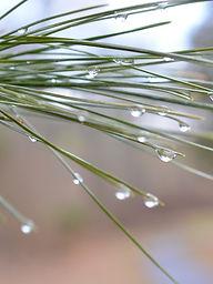 Dew on pine needles