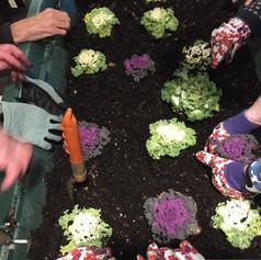 Seniors planting fall cabbage