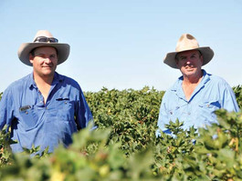 Promising cotton harvest