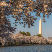 Cherry Blossoms and Washington D.C.