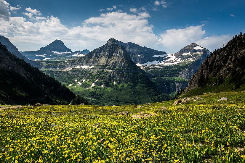 Glacier Lilies (Glacier N.P.)