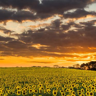 Sunflower Fields Sunset