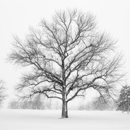 Tree In Winter Snow Storm