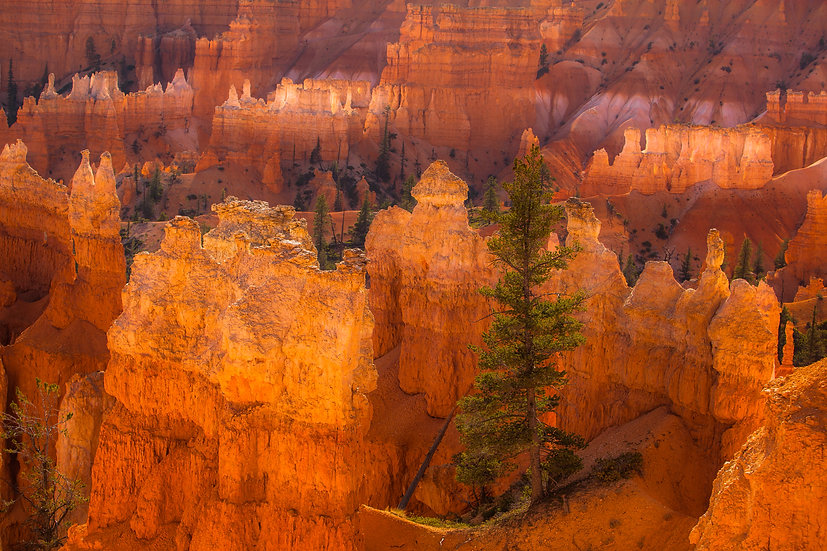 Tree and Hoodoos (Bryce N.P.)