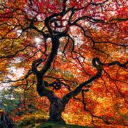 Japanese Maple Autumn Pano