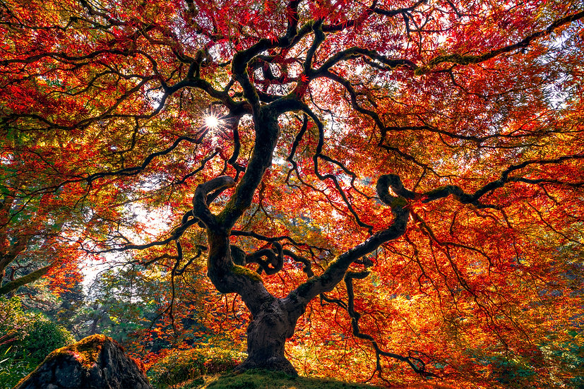 Japanese Maple Autumn - Full Pano