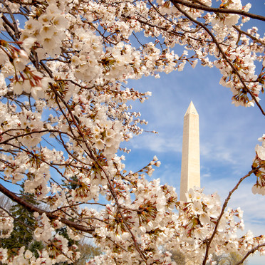 Cherry Blossoms and Washington Monument