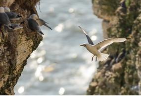 Seabirds at Bempton Cliffs