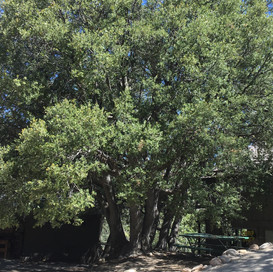 Tree by First Aide Porch.JPG
