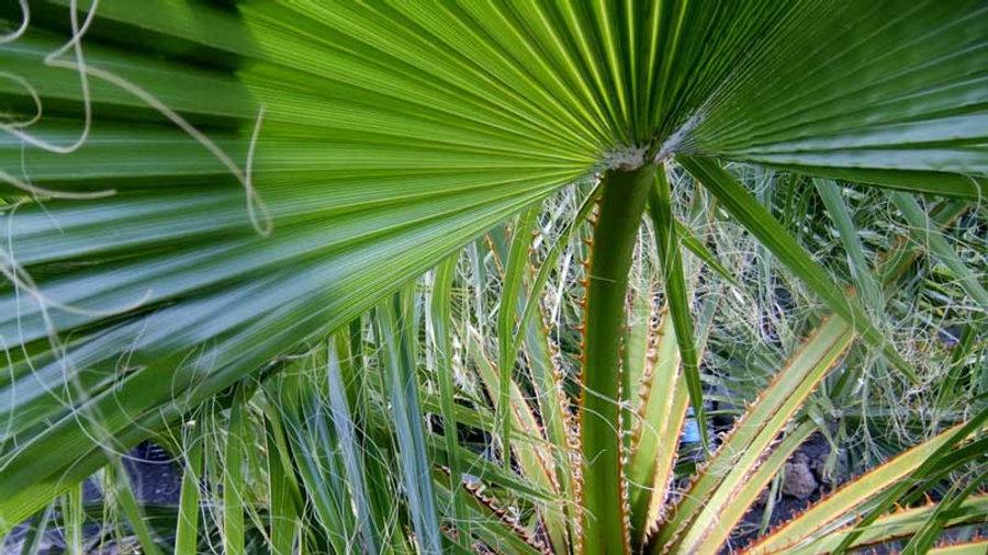 Palmblatt-k.jpg