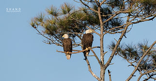Two American Bald Eagles purview their territory
