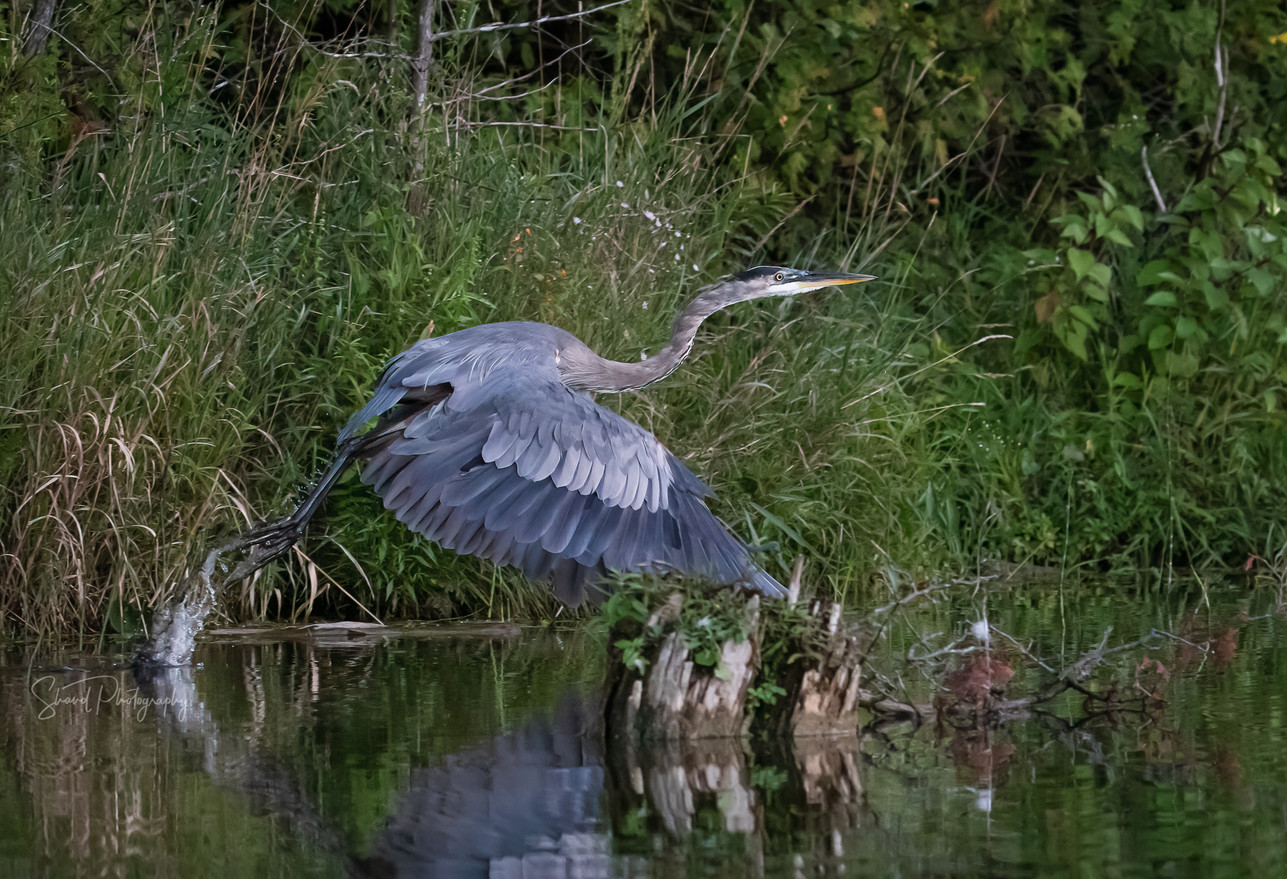 Great Blue Heron launch