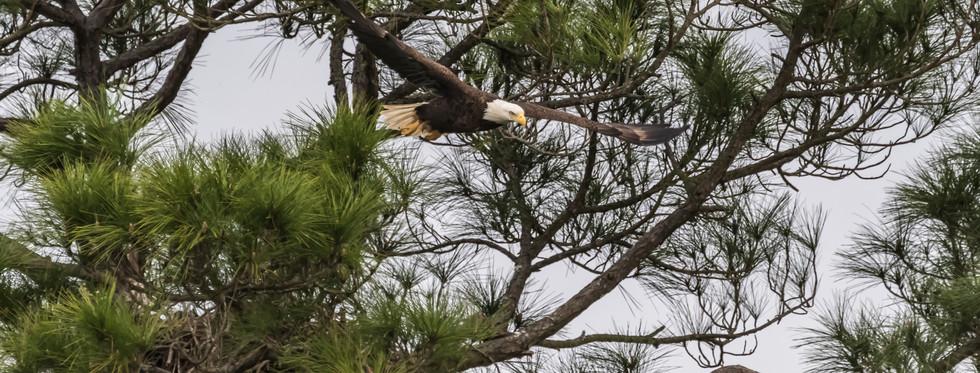 Soaring American Bald Eagle