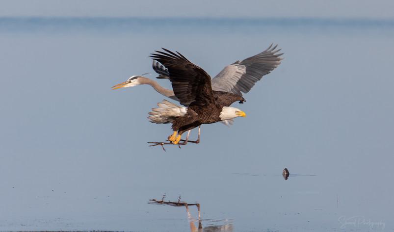 Heron and Eagle