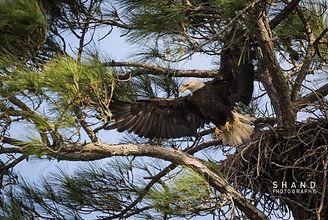 Ameridn Bald Eagle gracefully lands on branch below nest