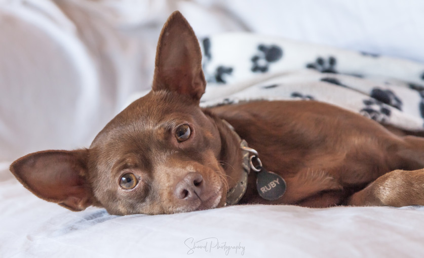 Ruby red Chihuahua