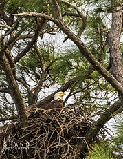 Bald Eagle watching for mate while sitting on nest