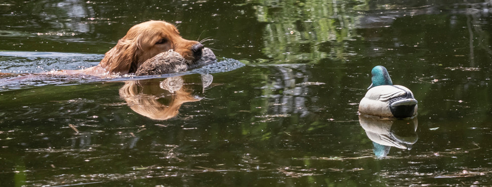 Retriever eyes the decoy as it swims by