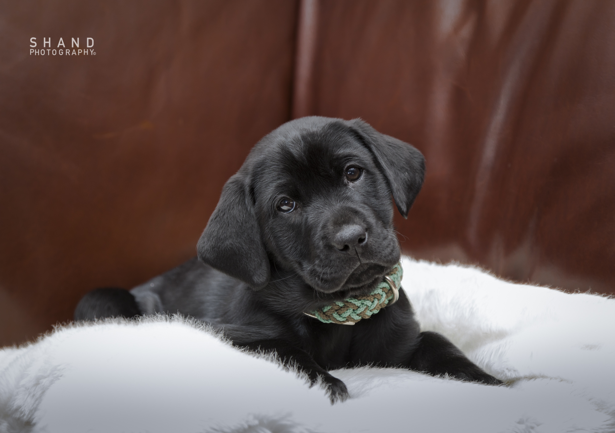 7 Week Black Labrador
