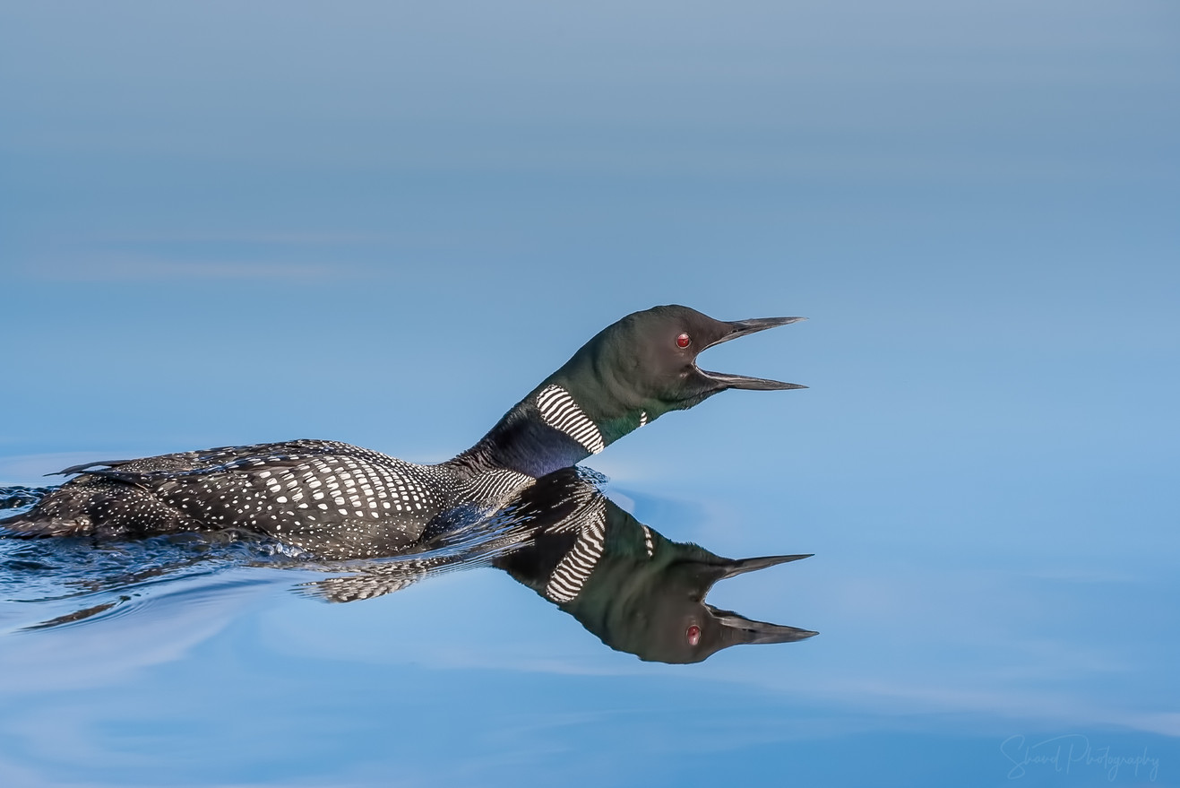 Common Loon Cry
