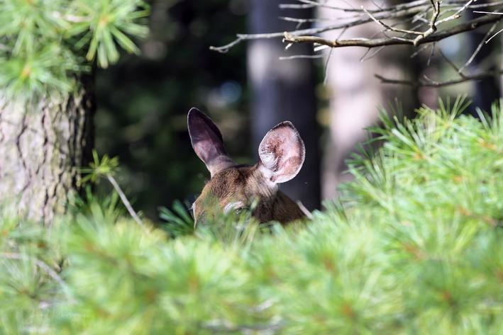 Peeking Deer