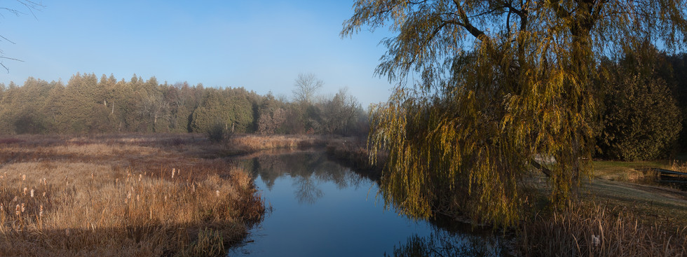 Morning Light on a Willow