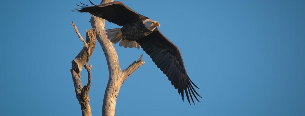 Smooth Eagle