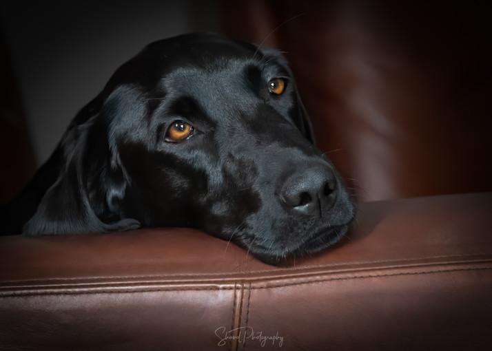 Labrador eyes