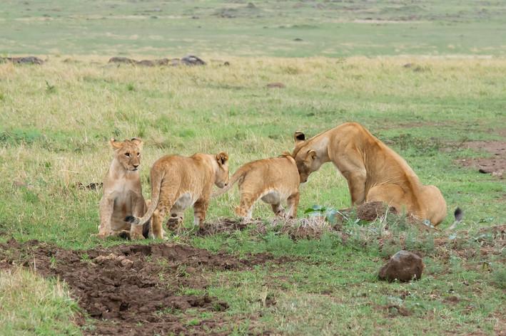 Loving Lion Time