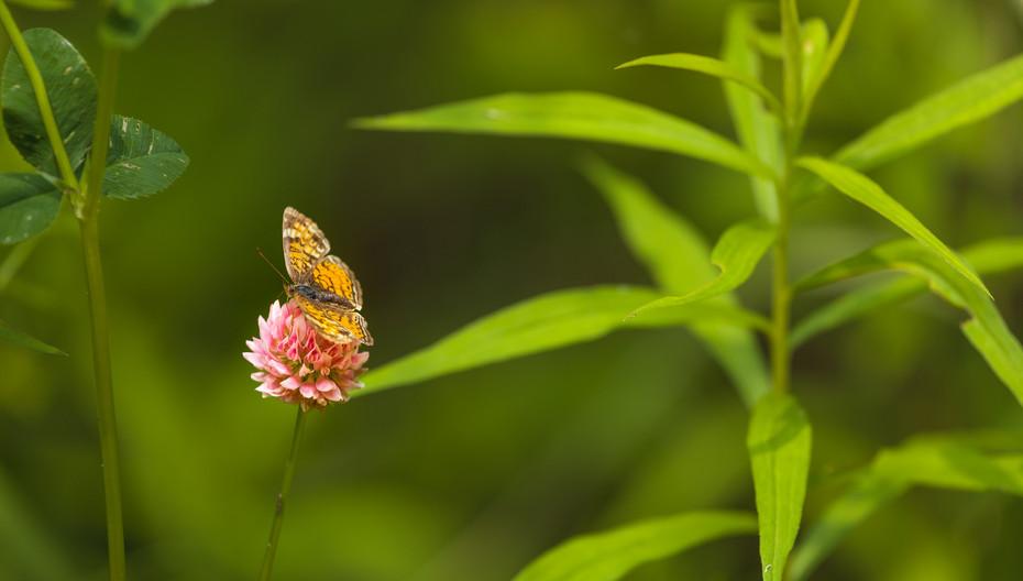 Clover Butterfly