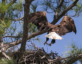 Bald Eagle about to land on its nest with eaglet watching