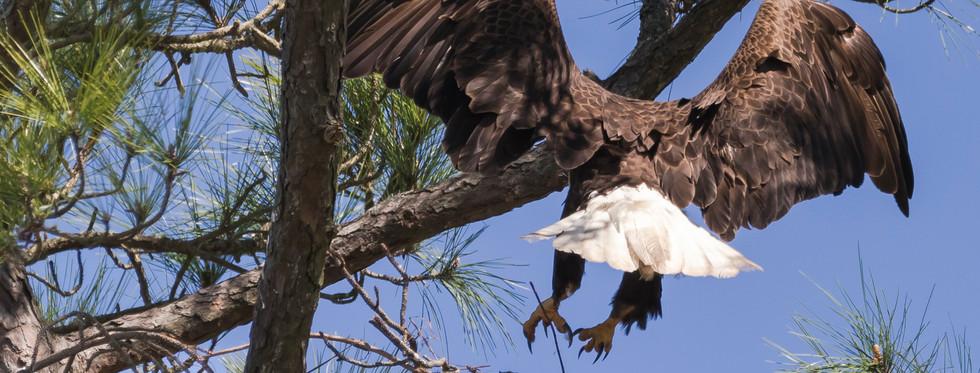Eagle Mom has returned