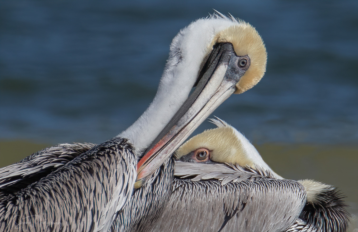 The eyes of the Pelican
