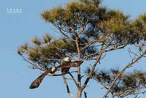 American Bald Eagle flies away from its perch