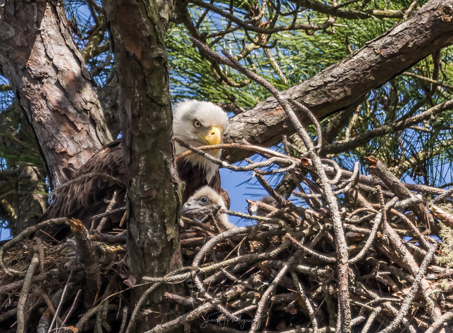Eagle young and old