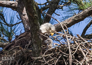 American Bald Eagle watching over eaglet