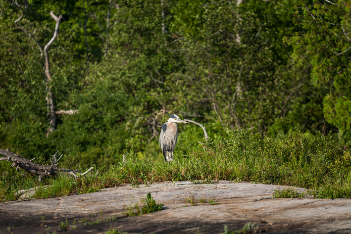 Great Blue Heron on the  Rock