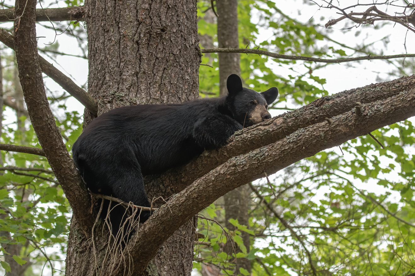 Black Bear Just Hanging Out