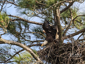 American Bald Eagle departing its nest